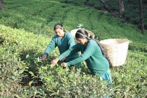 Teepflückerinnen